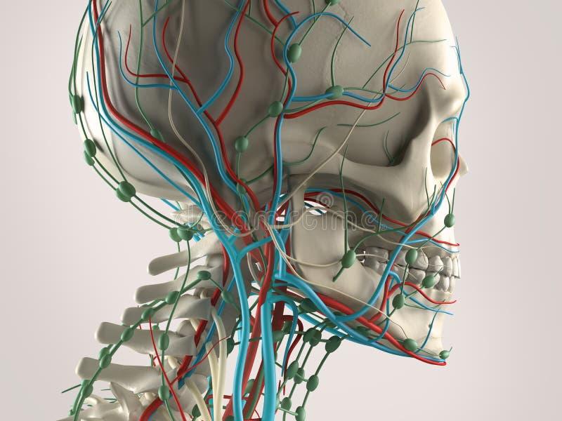 Una anatomía humana con vistas a la cabeza, mostrando el esqueleto y el sistema vascular ilustración del vector