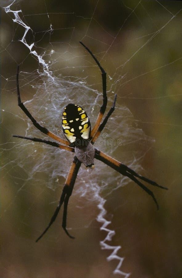 Una araña de jardín imagen de archivo