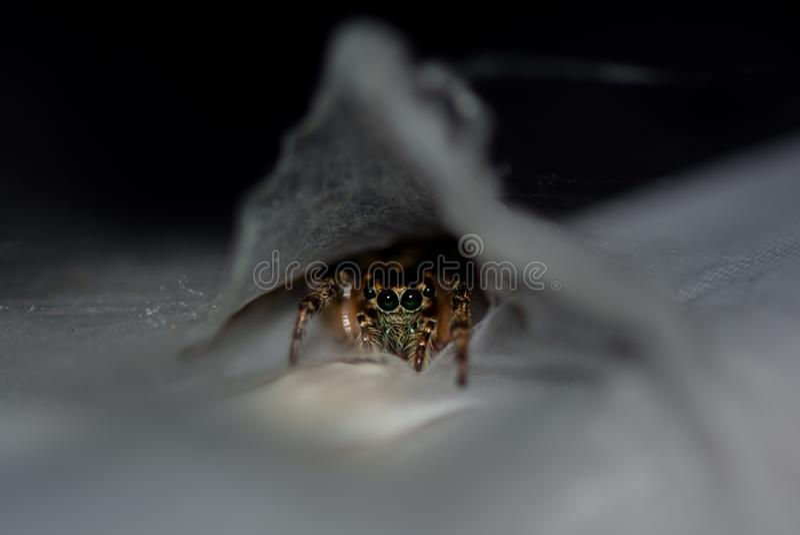 Una araña de salto de la madre cuidadosa protege su eggsac fotografía de archivo