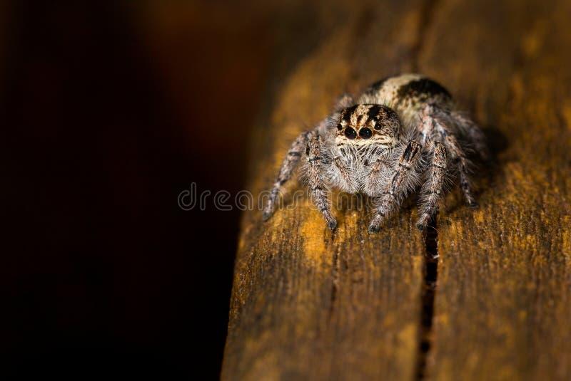 Una araña de salto minúscula fotografiada en la Argentina foto de archivo