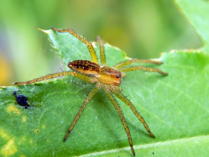 Una araña en una hoja verde con su presa imágenes de archivo libres de regalías