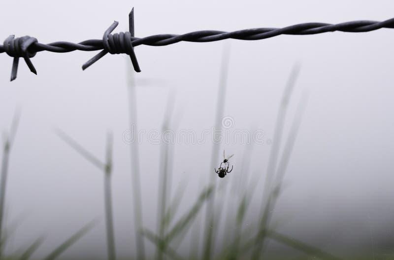 Una araña está cazando de un alambre de púas una mosca foto de archivo