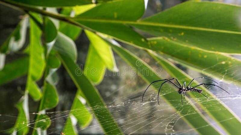 Una araña gigante femenina de maderas en el bosque de la montaña de Taipei foto de archivo libre de regalías