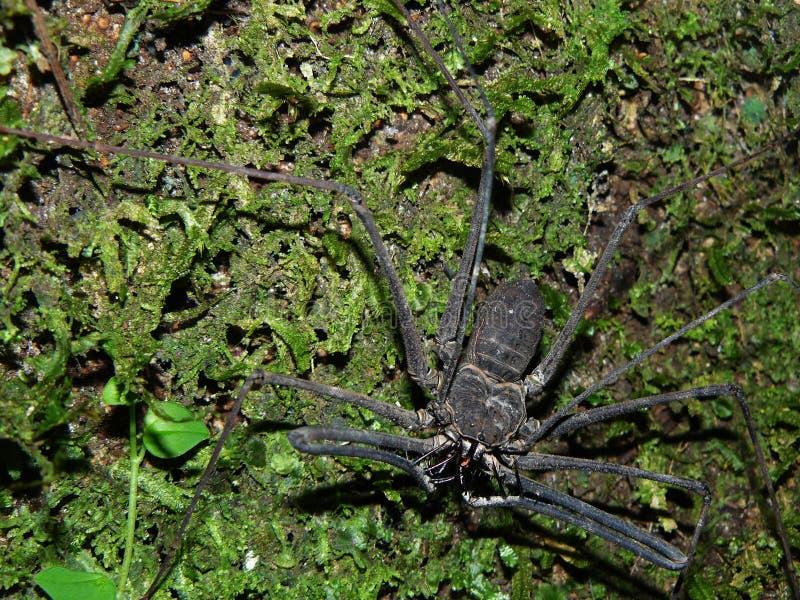 Una araña grande del escorpión en un árbol en el Amazone de Ecuador imágenes de archivo libres de regalías