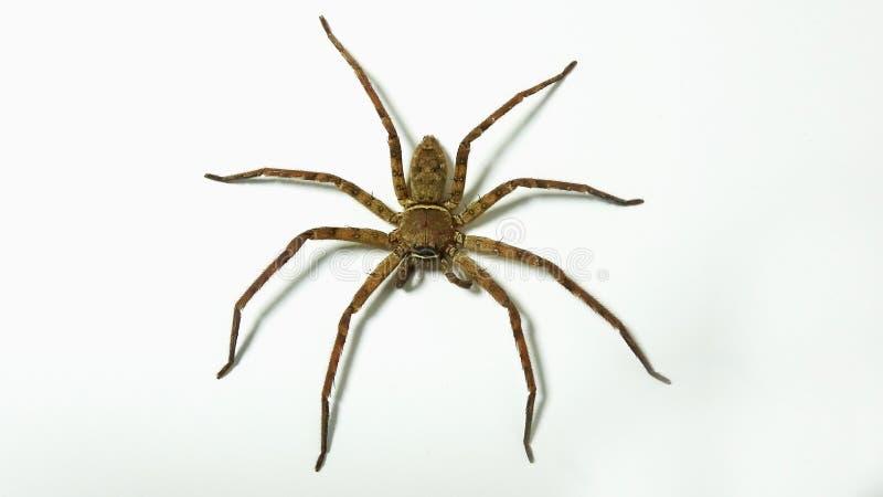 Una araña grande sube a un fondo blanco de la pared fotografía de archivo libre de regalías