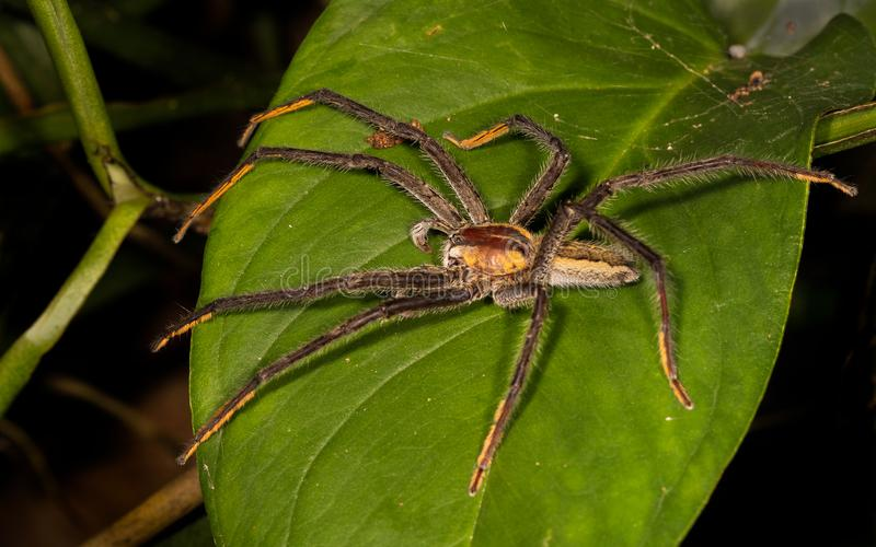 Una araña grande y peligrosa en una hoja imagen de archivo
