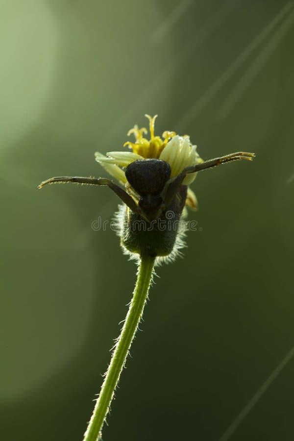 Una ara?a en la flor fotografía de archivo libre de regalías