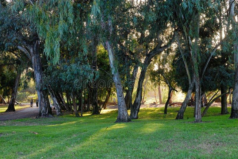 Una arboleda del eucalipto en Central Park fotografía de archivo libre de regalías