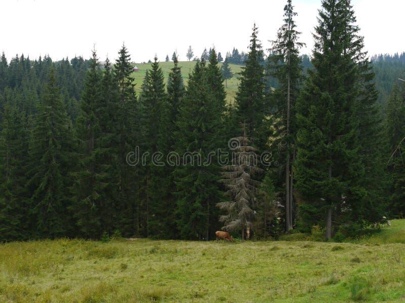 Una arboleda vieja del pino en un prado verde montañoso Aquí venido a los diversos animales del pasto fotos de archivo