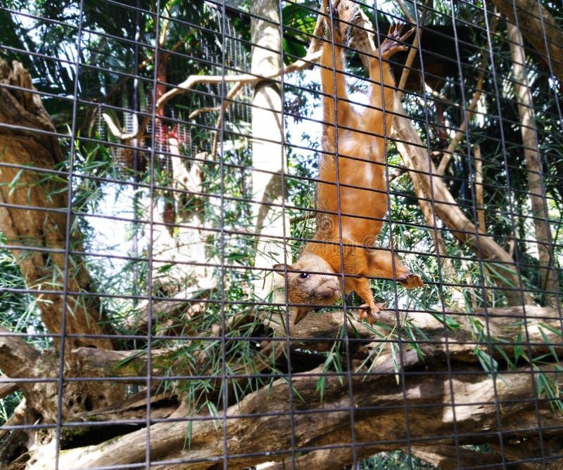 Una ardilla anaranjada en el parque zoológico imagenes de archivo