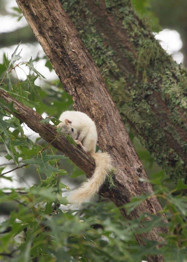 Una ardilla blanca salvaje, producto de la mutación genética imagenes de archivo