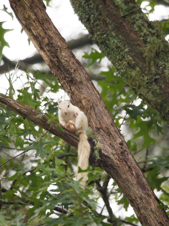 Una ardilla blanca salvaje, producto de la mutación genética foto de archivo libre de regalías