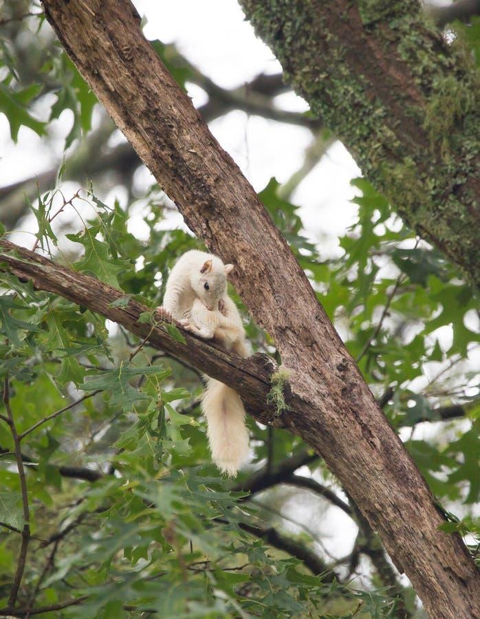 Una ardilla blanca salvaje, producto de la mutación genética foto de archivo