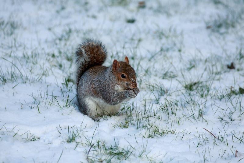 Una ardilla gris que forrajea en la nieve imagen de archivo libre de regalías