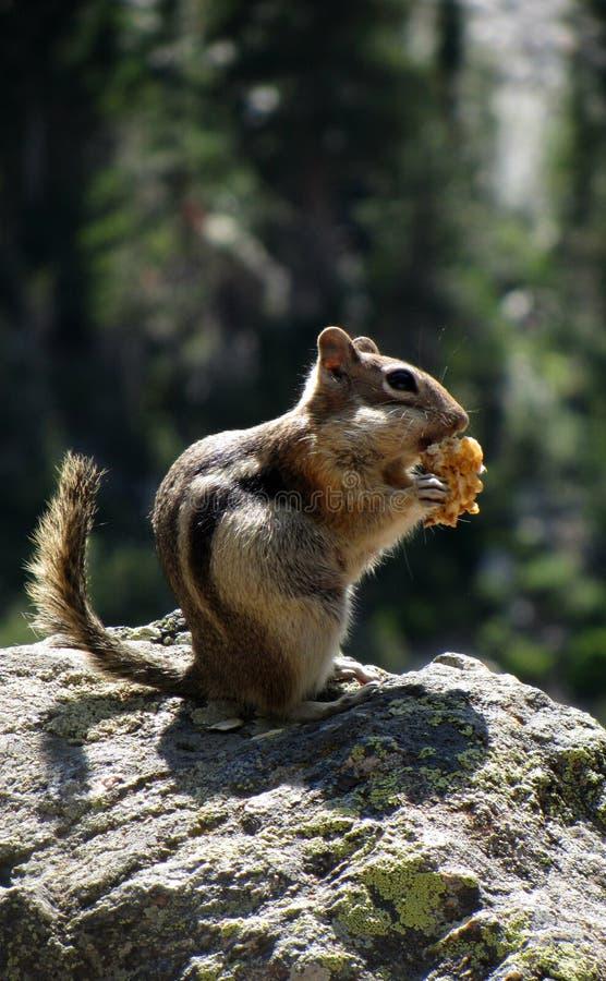Una ardilla listada en Rocky Mountain National Park fotografía de archivo