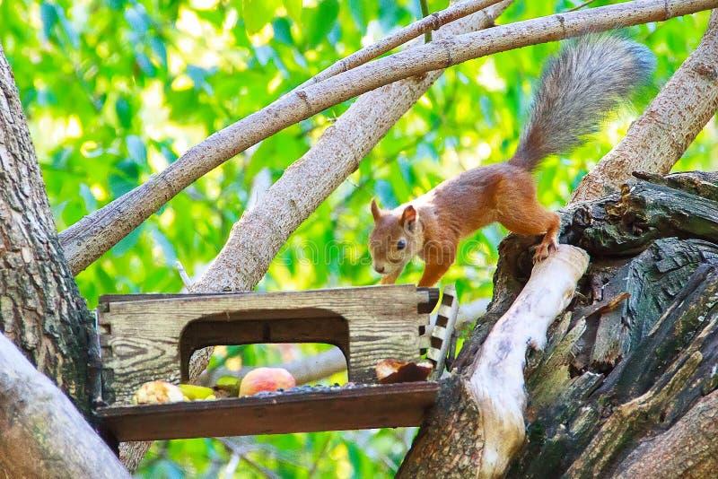 Una ardilla ordinaria es un pelirrojo hermoso que desciende a lo largo de una rama de árbol al canal de la comida imagen de archivo