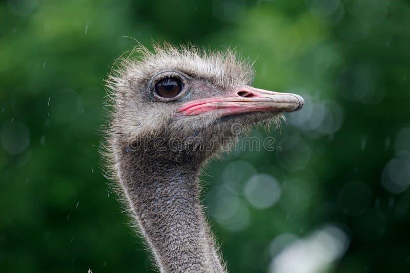 La cabeza de una avestruz fotos de archivo