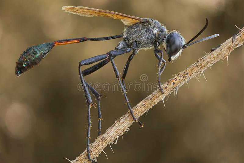 Una avispa negra en la rama imagen de archivo