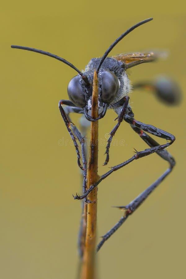 Una avispa negra en la rama fotos de archivo