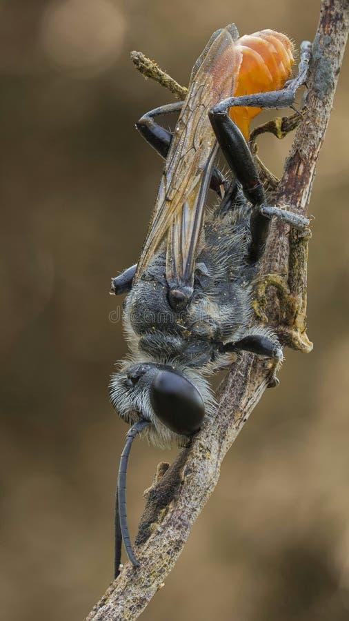 Una avispa negra en la rama foto de archivo