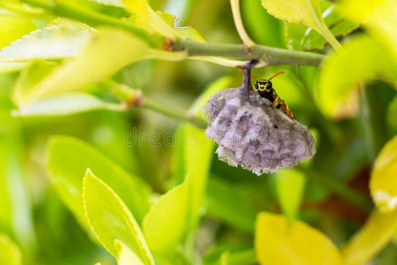 Una avispa que oculta detrás de una jerarquía en una rama del arbusto foto de archivo