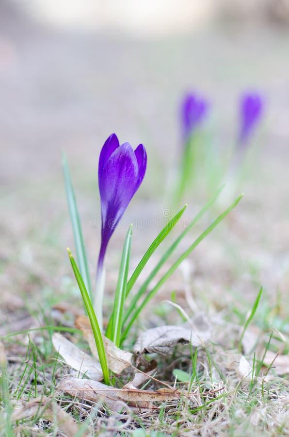 Una azafrán violeta hermosa Wildflower que crece en jardín botánico Bueno para el papel pintado estacional para el saludo de Pasc foto de archivo