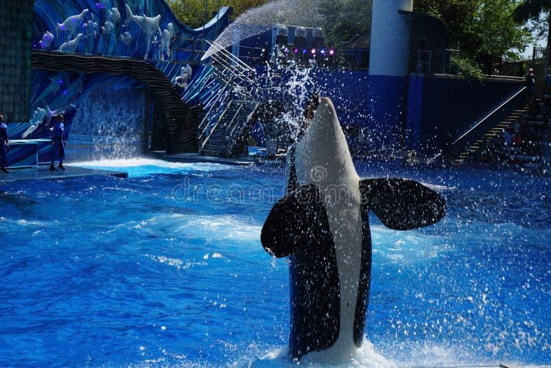 Una balena dell'orca che salta per gli ospiti fotografia stock