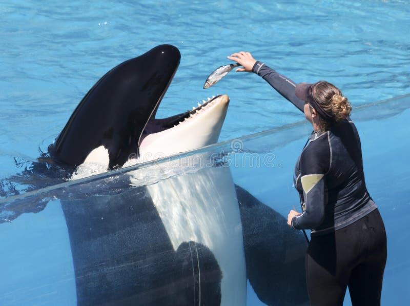 Una ballena asesina actúa con un entrenador, San Diego, California, EE.UU. imagenes de archivo