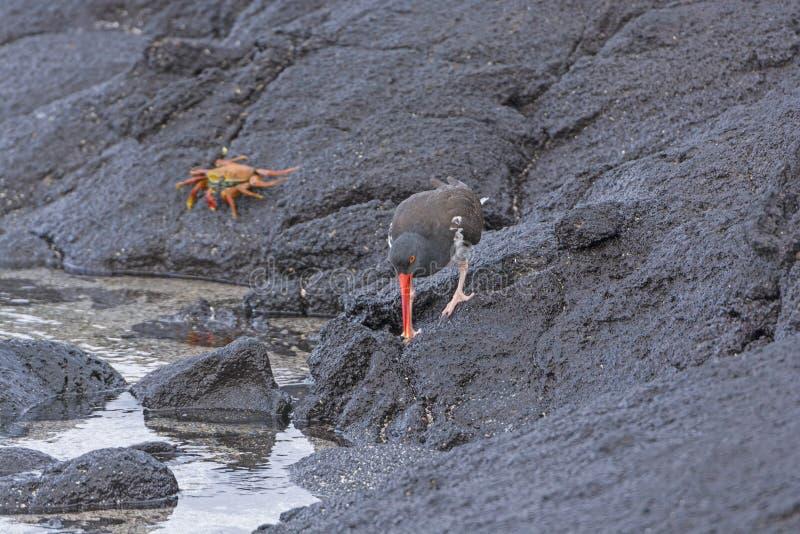 Una beccaccia di mare americana che cerca alimento sulle rocce fotografia stock