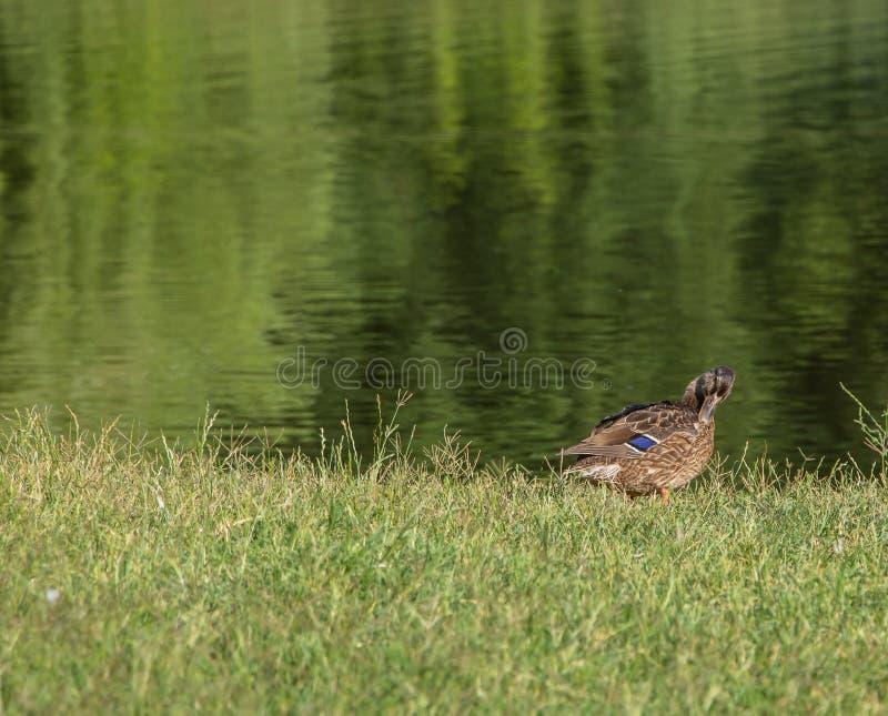 Una bella anatra si siede sulla riva di un lago immagini stock