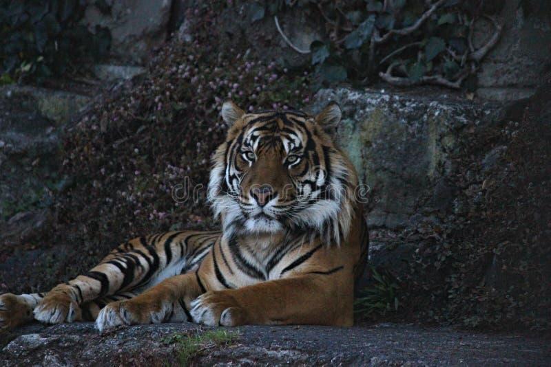 Una bella e tigre di Bengala selvaggia maestosa che si siede su una roccia immagine stock libera da diritti