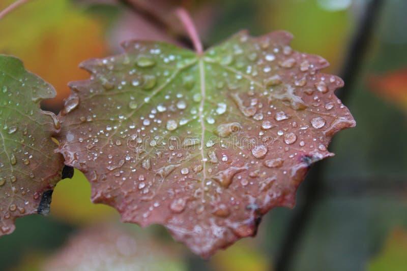 Una bella foglia rosso verde della betulla nelle piccole goccioline fotografia stock