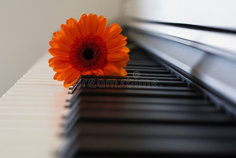 Una bella gerbera arancio sta trovandosi sulla tastiera di piano fotografia stock libera da diritti