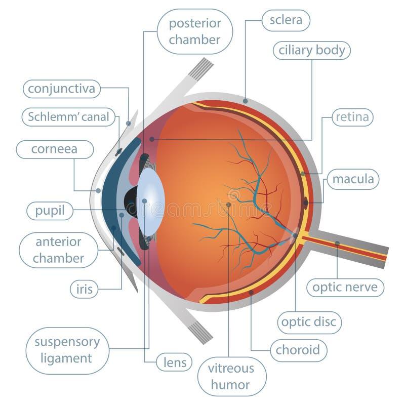 Una bella illustrazione di un occhio immagini stock libere da diritti