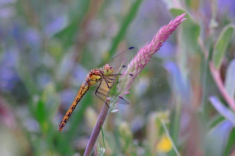 Una bella libellula gialla su una lama di erba violacea immagini stock