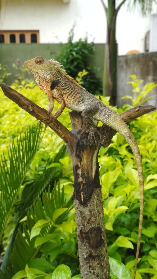 Una bella lucertola indiana selvaggia del giardino fotografia stock