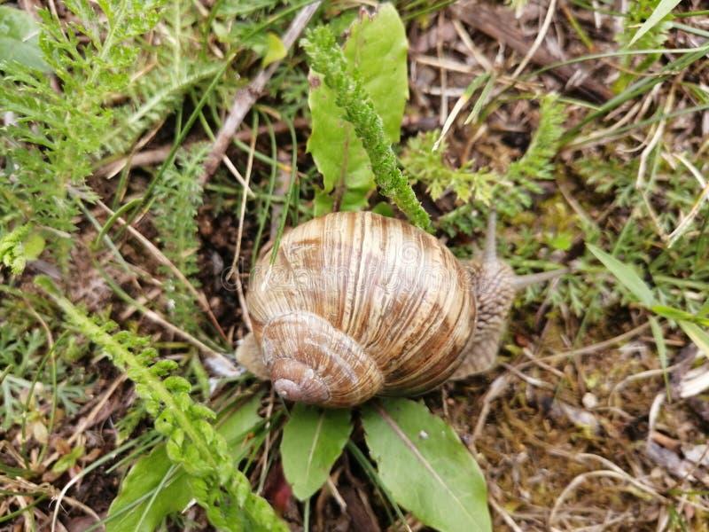 Una bella lumaca che si striscia nell'erba immagine stock