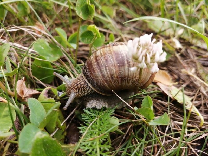 Una bella lumaca che si striscia nell'erba fotografia stock
