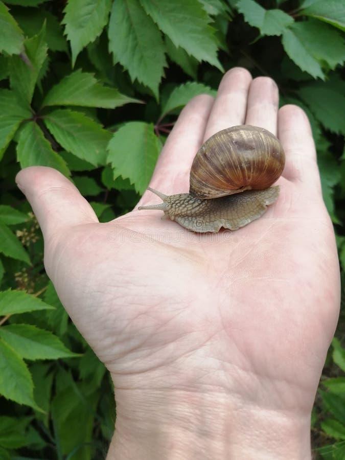 Una bella lumaca che striscia nel palmo della mano fotografia stock