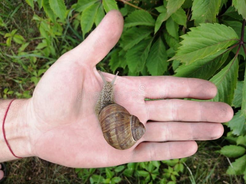 Una bella lumaca che striscia nel palmo della mano immagini stock libere da diritti