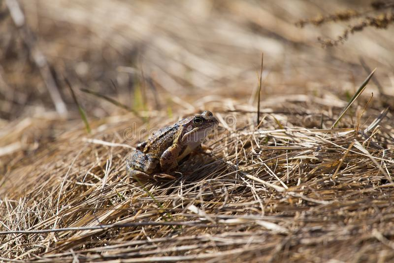 Una bella rana marrone che si siede su una terra, piena di ultime foglie ed erba secche di anni Paesaggio iniziale della molla Nu fotografia stock libera da diritti