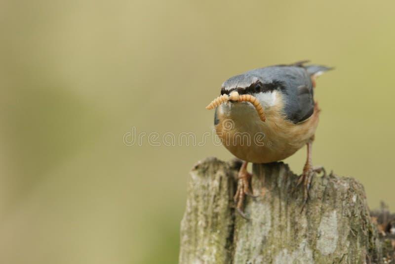 Una bella sitta, europaea del Sitta, appollaiantesi su un ceppo di albero con gli insetti in suo becco che sta andando alimentare fotografie stock libere da diritti
