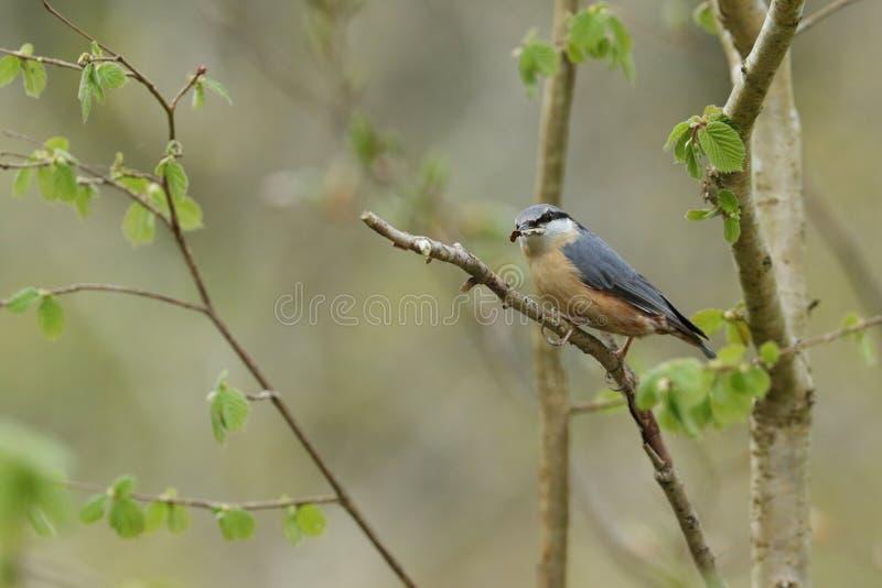 Una bella sitta, europaea del Sitta, appollaiantesi in un albero con materiale per il nido in suo becco immagini stock libere da diritti