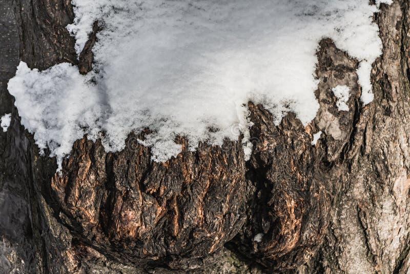 Una bella struttura orizzontale della corteccia grigia e marrone di vecchio albero con neve e nodi e crepe bianchi ha luogo nell' fotografia stock libera da diritti