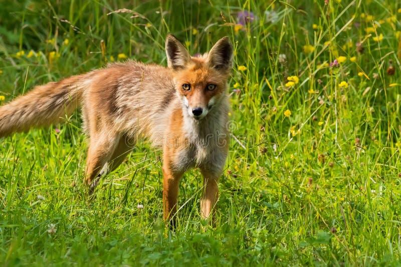 Una bella volpe nel suo habitat naturale fotografia stock
