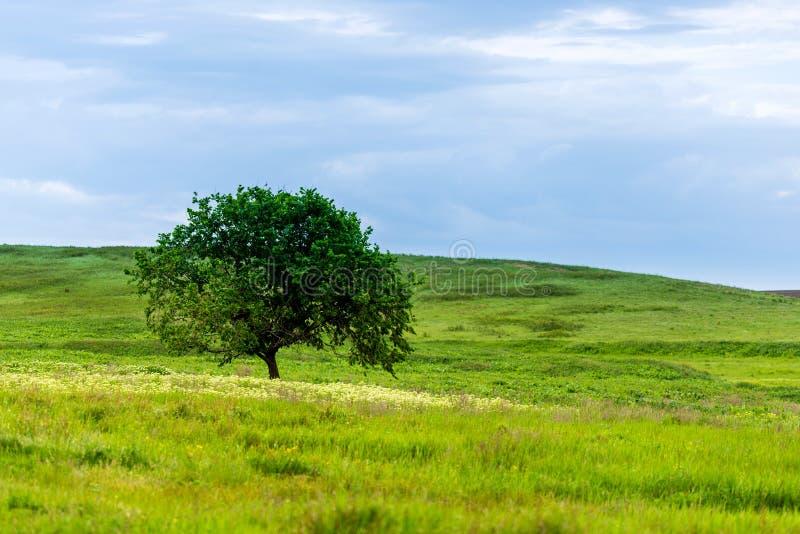 Una bellissima giornata estiva in un'area rurale Un campo con un albero solitario, piante ed erba verde fotografia stock libera da diritti
