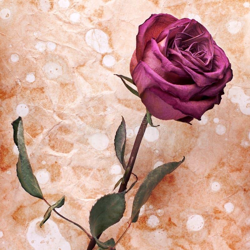 Una Borgogna è aumentato fiore sulla fine di carta invecchiata sgualcita dipinta del fondo su, sull'invito di festa o sulla proge fotografie stock libere da diritti