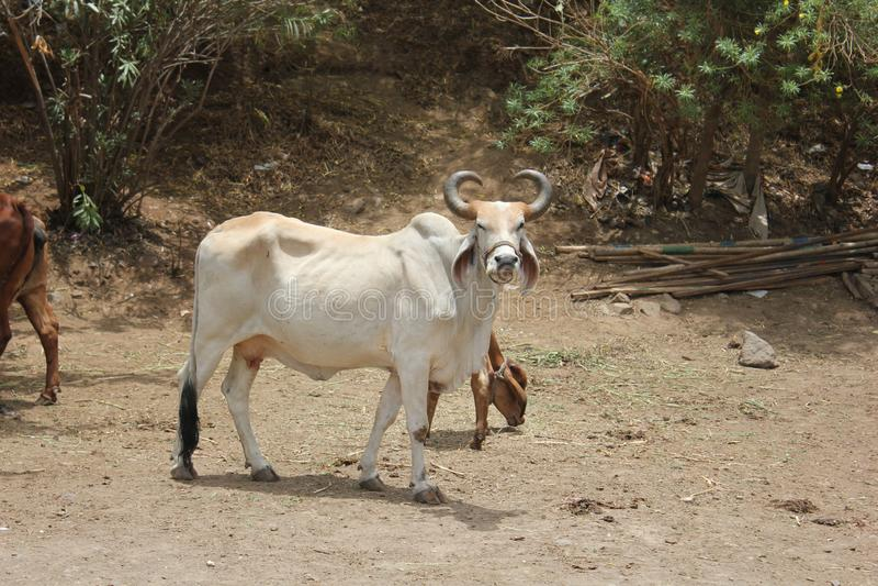 Una Bull apenas que espera su amo; llamada de s imagen de archivo libre de regalías