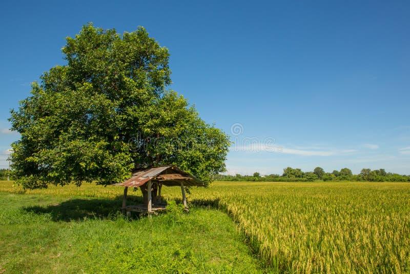 Una cabaña por el campo del arroz de arroz fotos de archivo libres de regalías