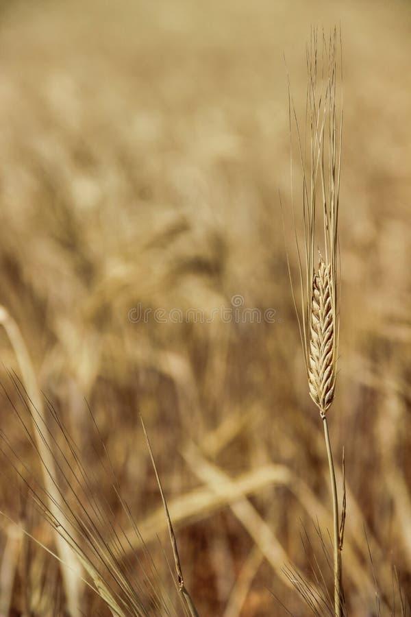 Una cabeza amarilla del trigo en un campo de trigo imagen de archivo libre de regalías